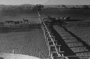 Bringing Cattle to Water Troughs, Argyle Station 1948. Photo by Ray Bean, original with the State Library of NSW.